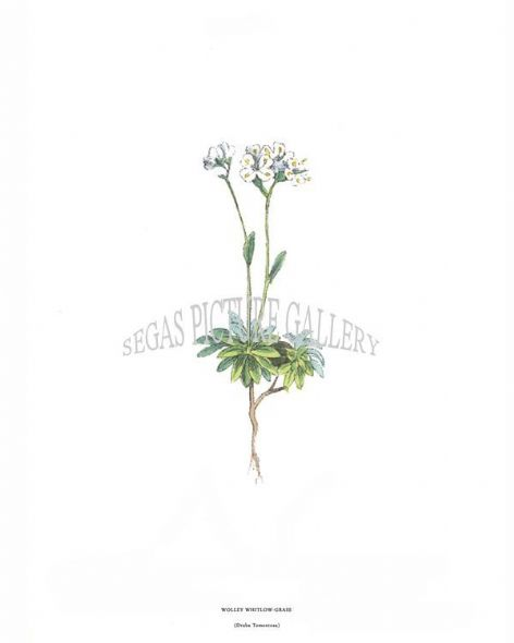 Fine art print of the Wolley Whitlow-Grass Draba Tomentosa by J C Weber